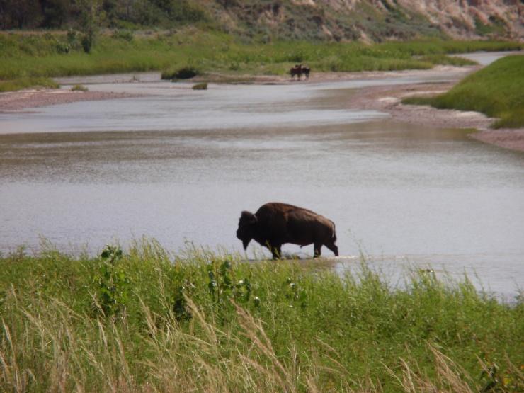 Do is en Bison in Teddy Roosevlet National Park in Naad Dakota.
